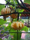 Daisy Gourd
