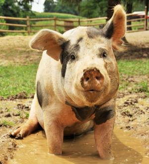 Get personal and up close with a pig