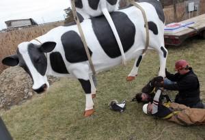 Cow campaign reaches Hobart