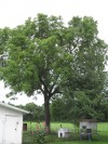Black Walnut Tree at Potempa Farm
