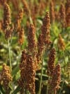 Sorghum, an historic food still vital in rural Indiana