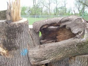 Emerald ash borer has Wicker Park Golf Course officials really bugged