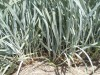 GREEN NOTES: Group fights a battle against lyme grass in the Dunes