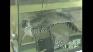 Cook County Sheriff's seize four-foot alligator