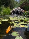 Koi in pond of Kathy Bartley and Amber List