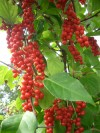 Herbal Healer: What is schisandra?
