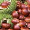Herbal Healer: What is chestnut?