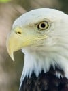Bald eagles illustrate American success story