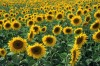 Could sunflowers turn Chicago vacant lots into a source for biofuels?