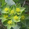 Bupleurum