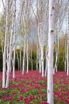 White Birch Tree with Red Flowers