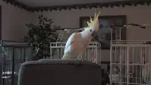 Snowball the Dancing Bird
