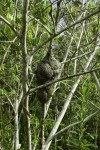 Large Paper Hornet's Nest in Tree