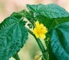 Herbal Healer: What is corchorus?