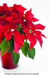 The basics of poinsettia plant care