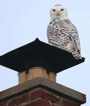 Unusual number of Arctic snowy owls seen in US