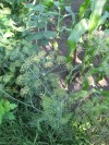 Fresh Dill Weed in the Potempa Farm Gardens