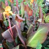 Herbal Healer: What is canna?