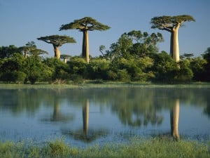 Herbal Healer: What is baobab?