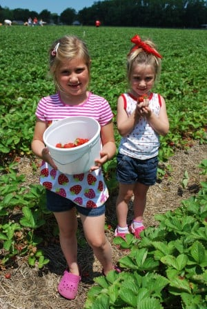 Strawberry picking makes for sweet family fun