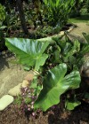 Coffe Cup Elephant Ear Tropical Plant
