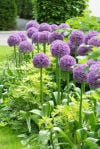 For a different bulb, try planting alliums