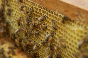 The Buzz: Beekeepers enamored with their flying friends