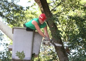 Crews begin removing Munster's infected ash trees