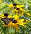Indiana man keeps personal census of butterflies, Adv10-11, IN