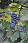 Concord: America's foxy grape tastes good too
