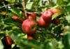 More home apple growers are thinking organic