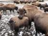 Buffalo still roam in Union Township