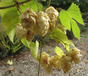 Hop to it: Plant what you need to brew beer