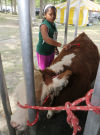"""Ten-year-old Jacinda Akins of Lowell gets her calf """"Lola"""" ready for 4-H judging at the Lake County Fair."""