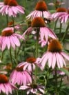 Pretty in pink Cone flowers