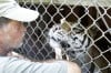 Roy Boy's tigers thriving in new home