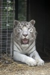Calls of tiger on the loose in Gary prompt police search