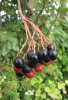 Herbal Healer: What is nannyberry?