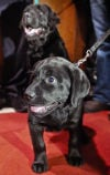 Labrador retrievers set popularity-ranking record