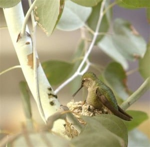 Spring means yard work for hummingbird watchers