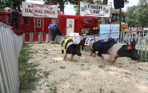 Going hog wild at Lake County Fair