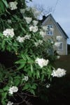 On Gardening: Color white stunning in the landscape