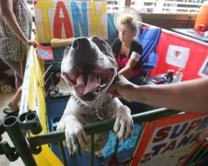 From fire to fair: Tank the pit bull a foster dog success story