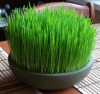 Herbal Healer: What is wheat grass?