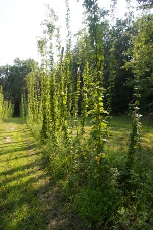 Hops: The freshness behind the flavor