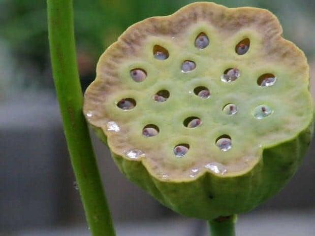 Herbal Healer What Is Lotus Seed Healthy Living