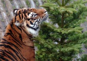 Recycled trees source of joy for zoo animals