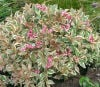 Weigela My Monet 50611c.jpg