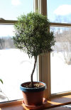 How to turn a rosemary bush into a tree