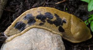 Prevent a garden slugfest with baits, upkeep